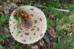 Fraisiers communs sur le champignon de parasol Photographie stock
