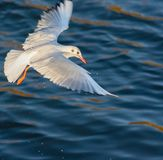Frajerów skrzydła rozciągający fotografia stock