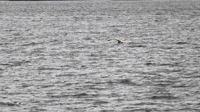 Frajer lata nad rzeką i je jedzenie w błękitne wody, przyroda zbiory wideo