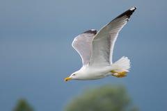 Frajera latanie Zdjęcie Royalty Free