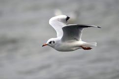 Frajera latanie nad rzeka Obrazy Stock