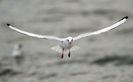 Frajera latanie nad rzeka Zdjęcia Stock