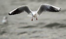 Frajera latanie nad rzeka Obrazy Royalty Free