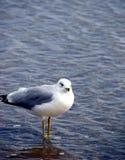 frajera morze Obraz Royalty Free