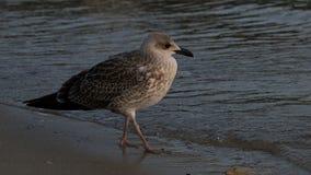 Frajera ptak na seashore Fotografia Royalty Free