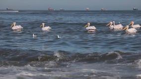 Frajery i bociana pławik w wodzie zbiory wideo