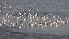 Frajery lub seagull relaksuje w wodzie zdjęcie wideo