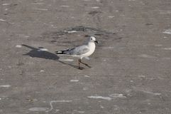 Frajery lub seagulls zdjęcia royalty free