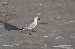 Frajery lub seagulls obrazy stock