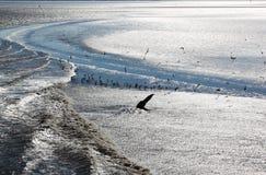 Frajery w iskrzastej wodzie Waddenzee, holandie obrazy stock