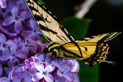 Framåt purpurfärgad blomma för gul swallowtailfjärilsframsida arkivfoto