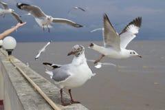 framåt seagull för se Fotografering för Bildbyråer