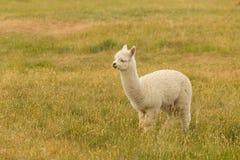 Fram animal white baby alpaca. On green glass stock photography