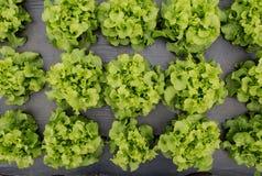 Fram dell'insalata della lattuga Immagine Stock
