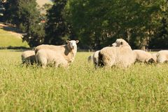 Fram sheep on green glass field. Farming animal stock photography