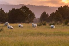 Fram sheep on green glass field with sunset tone. New Zealand natural landscape background stock photo