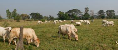 Fram White cows. Cow Fram green Field day blue sky stock image
