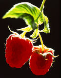 Framboesa Imagem de Stock Royalty Free