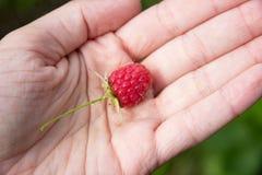 Framboesa fresca na mão da mulher Fotografia de Stock