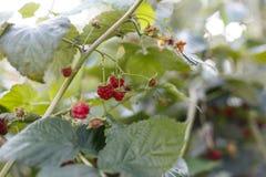 Framboesa madura fresca suculenta em um ramo fotos de stock royalty free