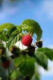 Framboesa vermelha que cresce no close-up natural do ambiente imagem de stock royalty free
