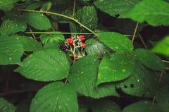 Framboesas cercadas pelas folhas Fotografia de Stock