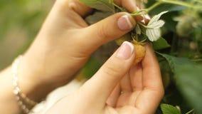 Framboesas da colheita da mulher de um arbusto video estoque