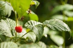 Framboesas em um arbusto Fotografia de Stock Royalty Free