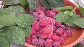 Framboesas maduras frescas e doces com folhas verdes video estoque