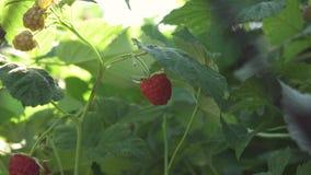 Framboesas maduras no jardim, close-up, dia ensolarado filme