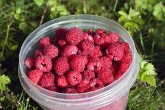 Framboesas saudáveis frescas do jardim local imagem de stock royalty free