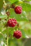 Framboesas selvagens vermelhas. foto de stock royalty free