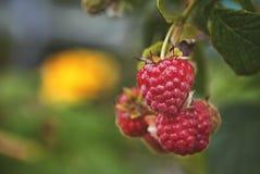 framboesas verão-maduras no ambiente natural imagens de stock royalty free