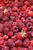 Framboesas vermelhas maduras recentemente escolhidas Imagem de Stock