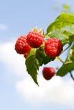 Framboesas vermelhas que amadurecem com folhas verdes fotografia de stock royalty free