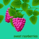 Framboesas vermelhas, suculentas, doces em um ramo para seu projeto Imagens de Stock