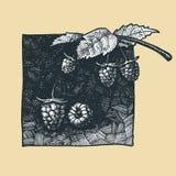 Framboise illustration stock