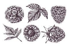 Framboise de croquis Illustration de vecteur de dessin de main Image stock