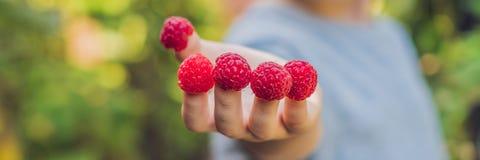Framboise de cueillette d'enfant Fruit frais de sélection d'enfants à la ferme organique de framboises Enfants faisant du jardina images libres de droits