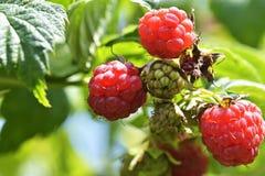 Framboise mûre dans le jardin de fruit Photo libre de droits