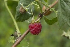Framboise mûre dans un jardin de pays un jour chaud d'été Images stock