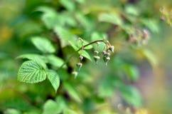 Framboise (rubus L ) est un arbuste à feuilles caduques ou l'arbuste de la famille Photographie stock libre de droits
