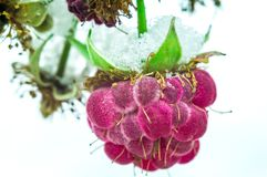 Framboise sur un fond blanc Photos stock