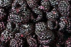 Framboises noires fraîches dans des boîtes Photos stock