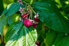 Framboises rouges mûres dans le jardin rural de fruit Photos libres de droits