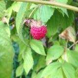 Framboises rouges sur la branche du buisson Photographie stock libre de droits