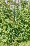 Framboos Stock Foto's