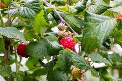 Frambozen die bij het Parkside-landbouwbedrijf groeien Royalty-vrije Stock Afbeeldingen