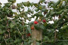 Frambozen die bij het Parkside-landbouwbedrijf groeien Stock Foto's