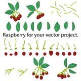 Frambozen die op witte achtergrond worden geïsoleerdj Afzonderlijke elementen voor uw vectorproject vector illustratie